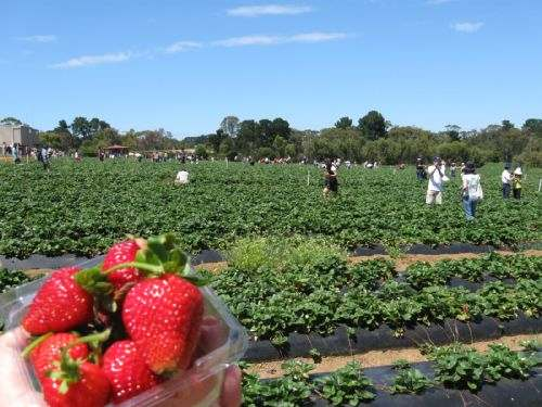 Strawberry Mornington