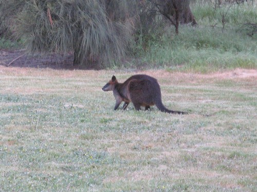wallaby.wallabies.nobbies.phillip.island